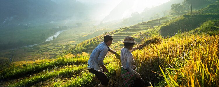Man and woman harvesting rice in Sapa