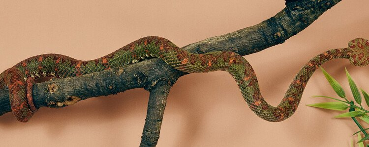 Snake coiled around branch of wood.