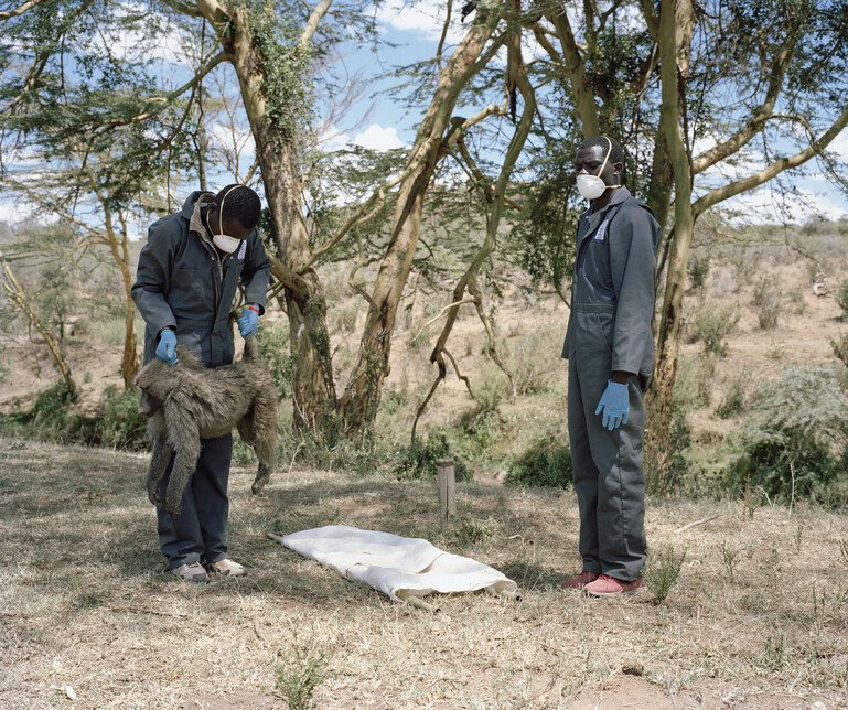 Scientists in Kenya screen a baboon for signs of disease