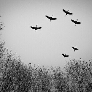 Six cranes fly over the Devil's Moor nature reserve