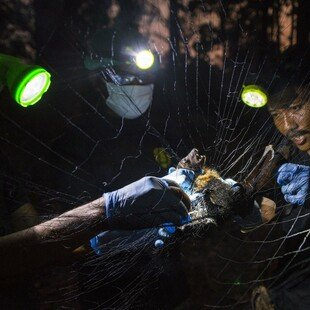 A ranger catches a bat to check for rabies as part of a programme to monitor the spread of the virus in Thailand