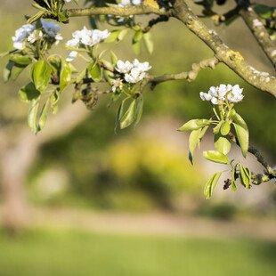 Fruit tree in blossom.