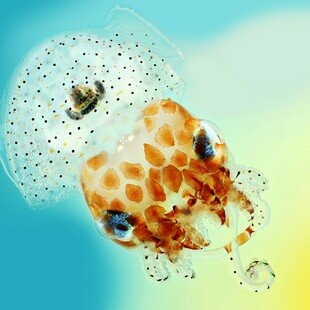 One of the winning images for the 2017 Wellcome Image Awards. close-up photography of a Hawaiian bobtail squid by Mark R Smith, Macroscopic Solutions.
