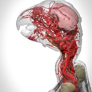 One of the winning images for the 2017 Wellcome Image Awards. A 3D reconstruction of blood vessels in an African grey parrot by Scott Birch and Scott Echols.
