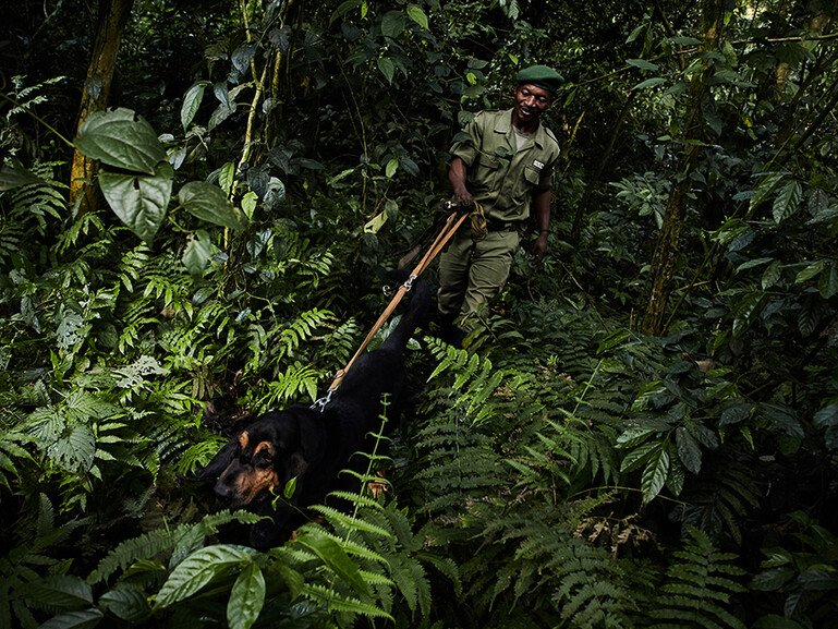Fidel Bahati and Bonus the bloodhound, part of the 'Congo Hounds' snifferdogsunit in Virunga National Park, patrol the forest.