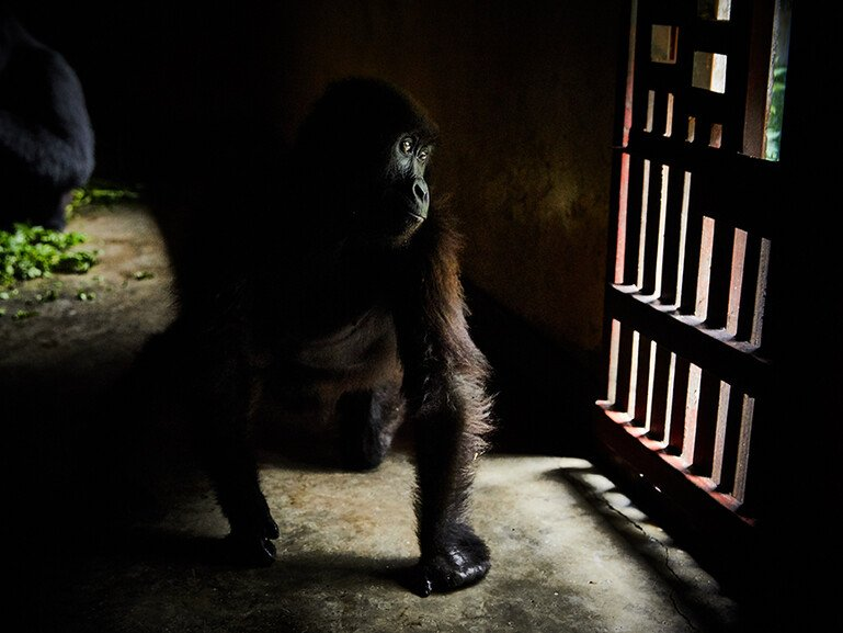 A young mountain gorilla, wounded in a poacher's snare, sits in a shelter in Virunga National Park.