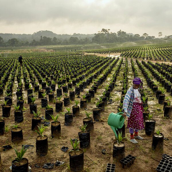 Workers at Sime Darby's oil palm nursery in Grand Cape Mount County, Liberia.