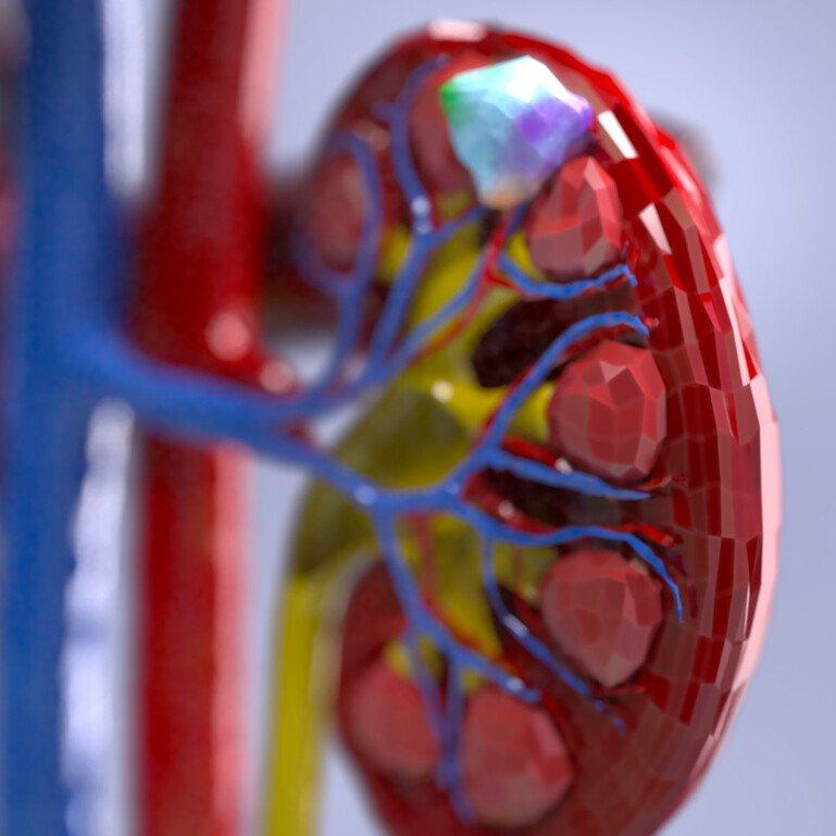 Coloured model of human kidney.