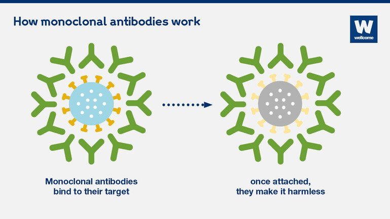 Graphic showing how monoclonal antibodies work.